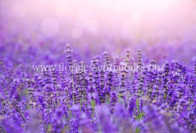 Lavender Oil for Soap
