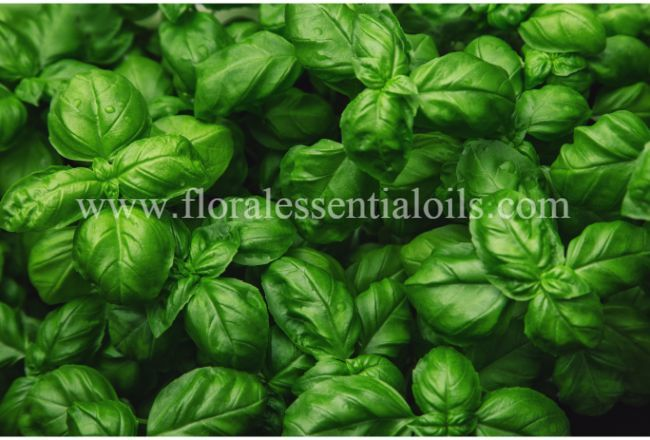Basil Organic Essential Oil