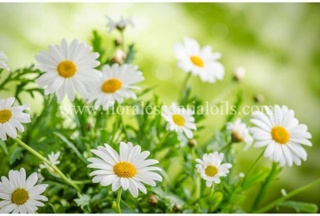 Chamomile Floral Water