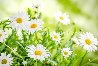 CHAMOMILE GERMAN HYDROSOL PURE FLORAL WATERS