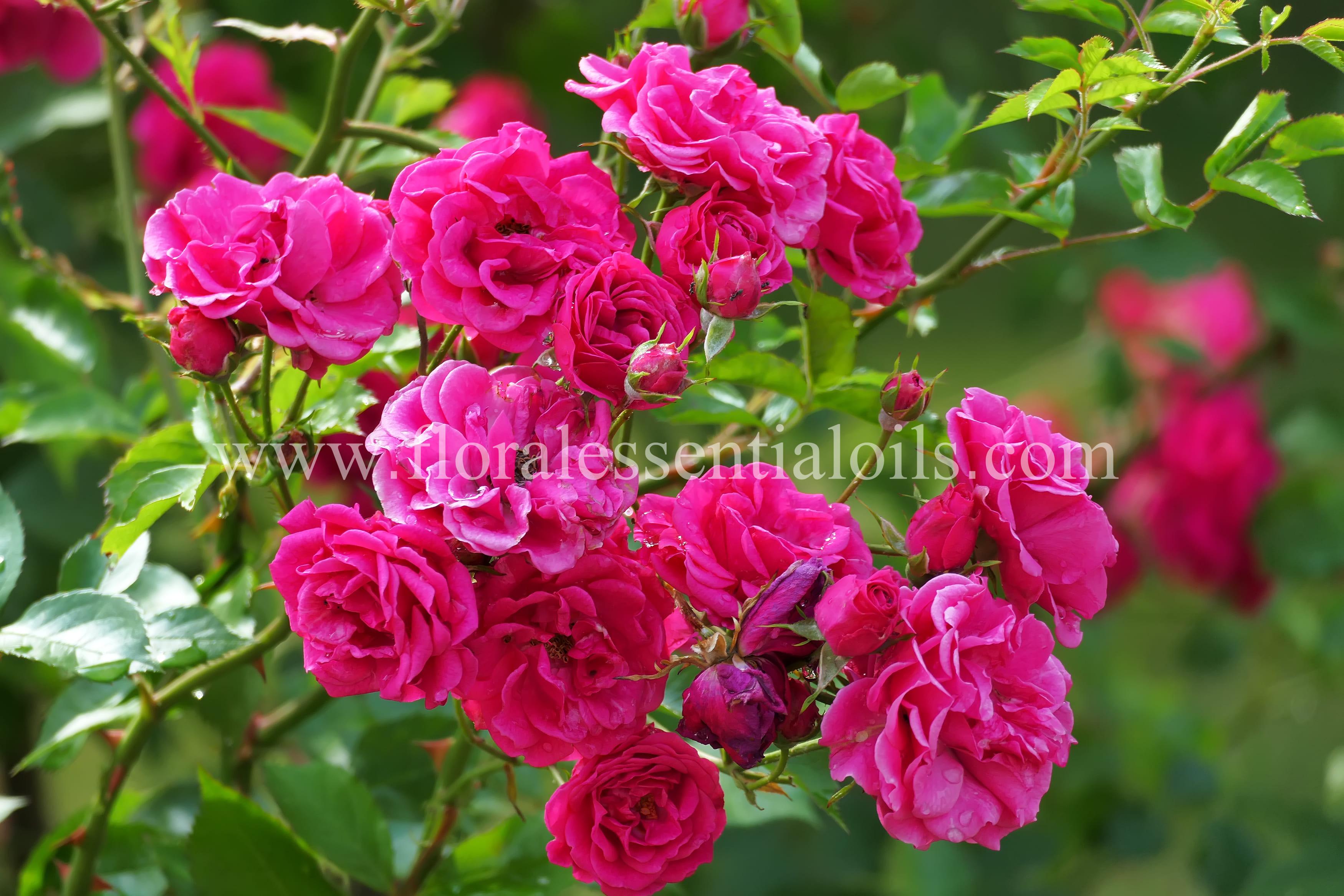 Rose Absolute (Bulgaria)