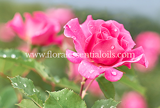ROSE OTTO HYDROSOL FLORAL WATERS